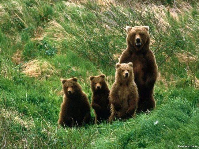 Výsledok vyhľadávania obrázkov pre dopyt tatranský medveď